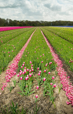 Rows of cut tulips, Egmond, Netherlands