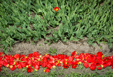 Discarded cut tulips, Egmond, Netherlands