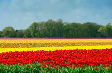 Red and yellow tulip fields, Egmond, Netherlands