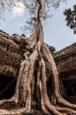 Overgrown tree roots, Angkor Wat, Cambodia