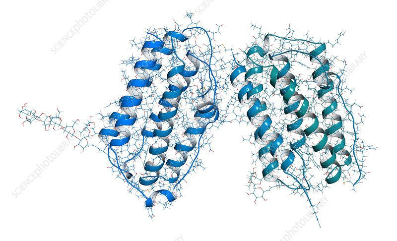 Interferon beta molecule, illustration