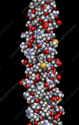 Keratin filament molecule, illustration