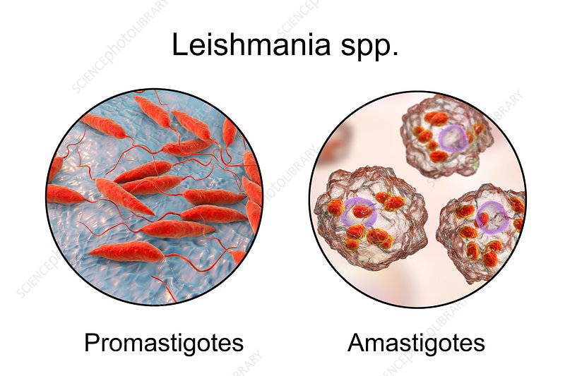 Leishmania parasites, illustration