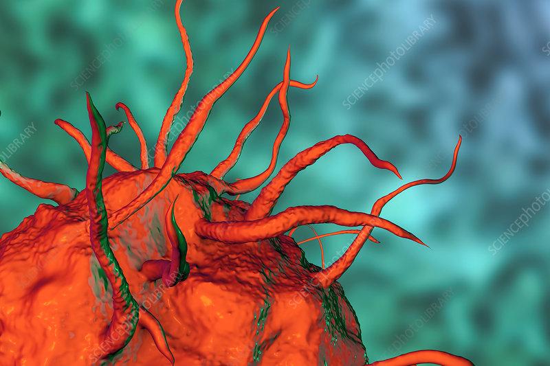 Macrophage, illustration