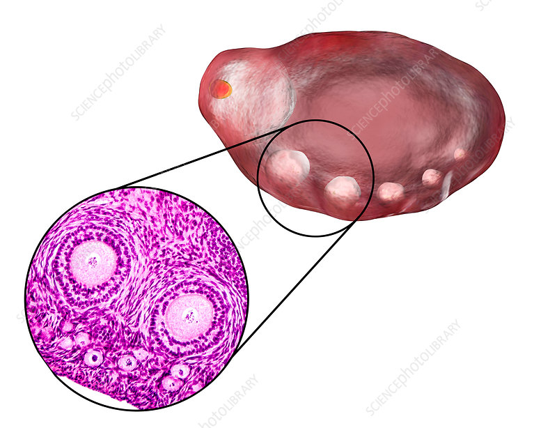 Ovarian follicles, micrograph and illustration
