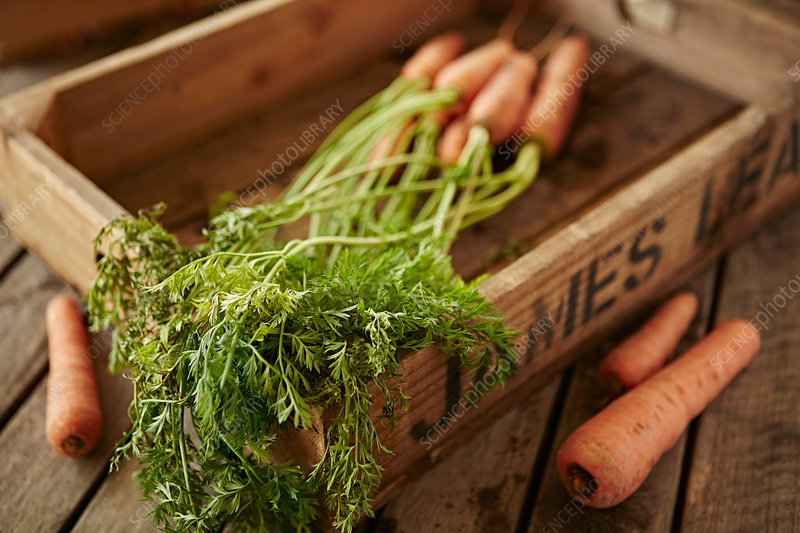 Fresh carrots with stems in wood crate