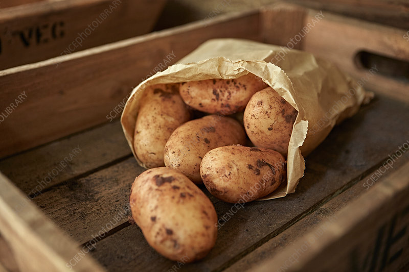 Rustic fresh dirty potatoes in bag in wooden crate