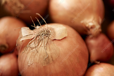 Full frame fresh, rustic onion with skin and roots