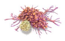 T lymphocyte and cancer cell, illustration