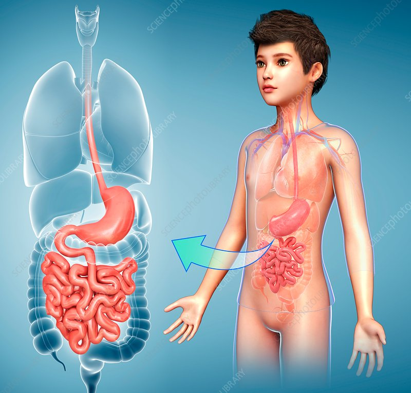 Child's stomach and small intestines, illustration