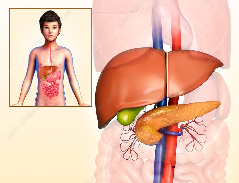 Child's liver and pancreas anatomy, illustration