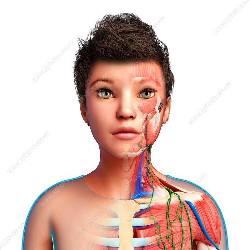 Child's lymph vessels and anatomy, illustration