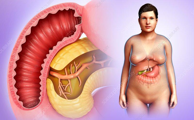 Duodenum and pancreas anatomy, illustration