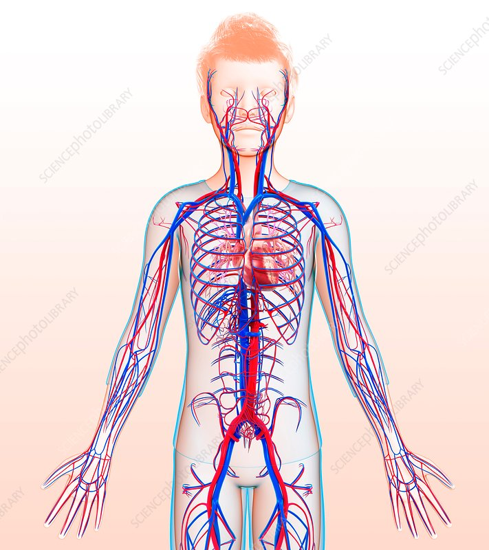 Child's circulatory system, illustration