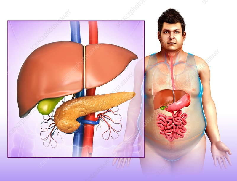 Liver and pancreas anatomy, illustration