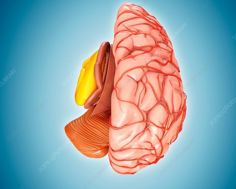 Brain arteries and anatomy, illustration