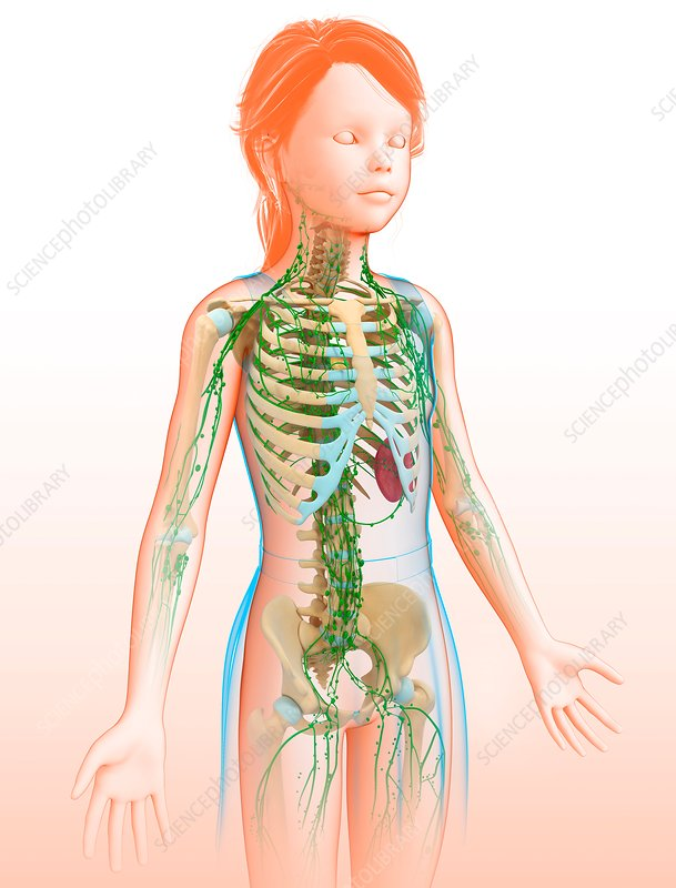 Child's lymphatic systems, illustration