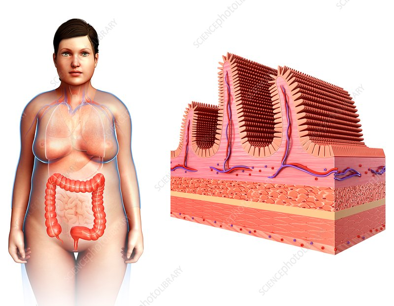 Female intestinal villi, illustration