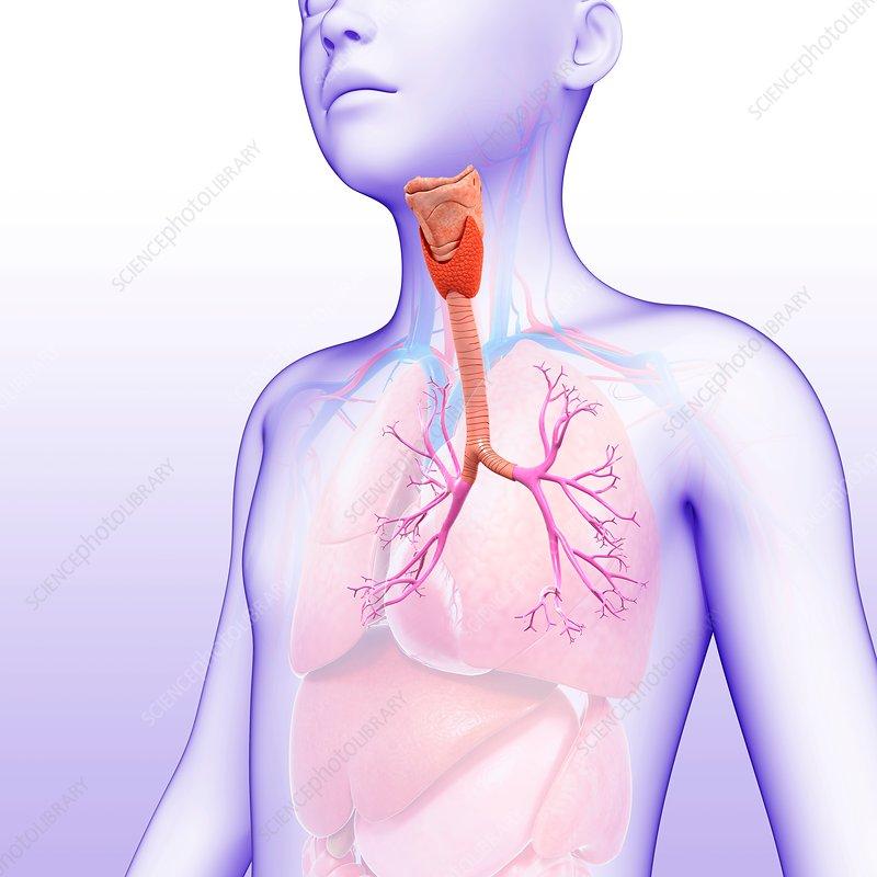 Child's lung bronchi, illustration