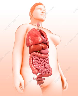 Female body organs, illustration