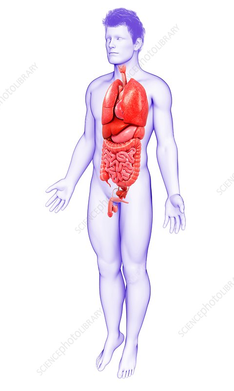 Male Body Organs Illustration Stock Image F0194241 Science