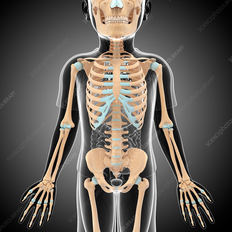 Child's skeleton, illustration