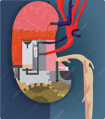 Kidney function, conceptual illustration