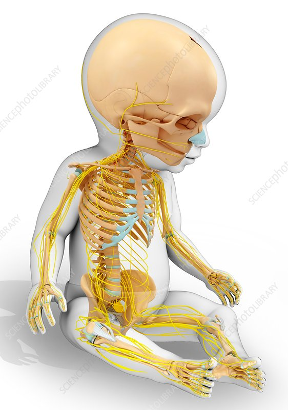 Baby's skeletal and nervous systems, illustration
