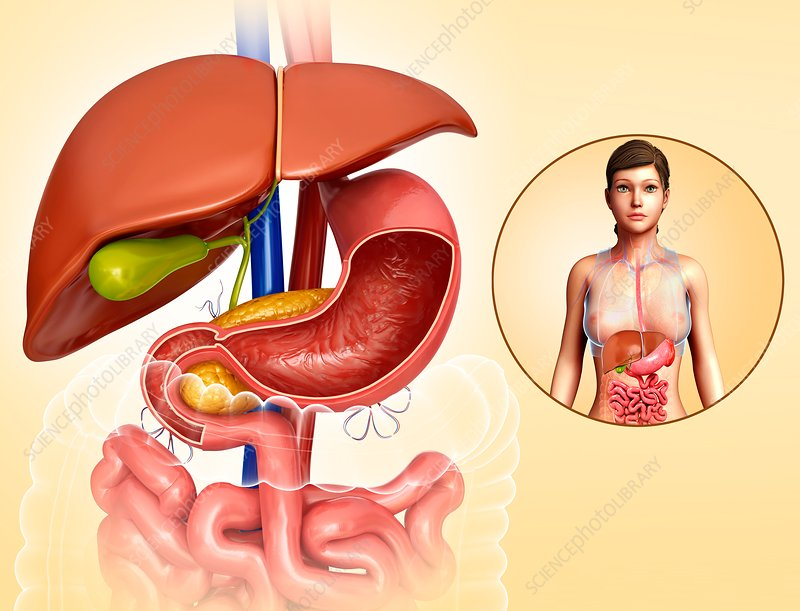Female liver and stomach anatomy, illustration