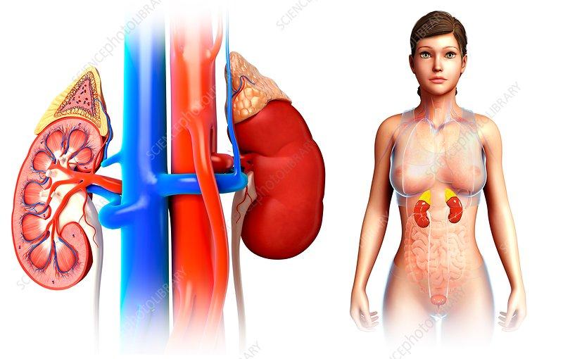 Human Kidney Cross Section Anatomy Stock Photo - Download