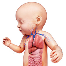 Baby's body organs, illustration