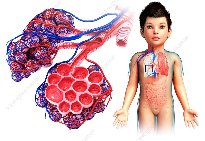 Child's alveoli and capillaries, illustration