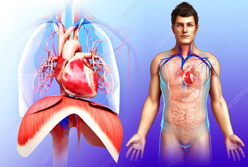 Male heart and diaphragm, illustration