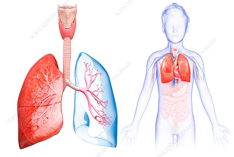 Child's lung anatomy, illustration