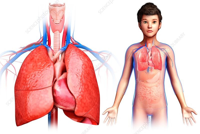 Child's heart and lungs, illustration