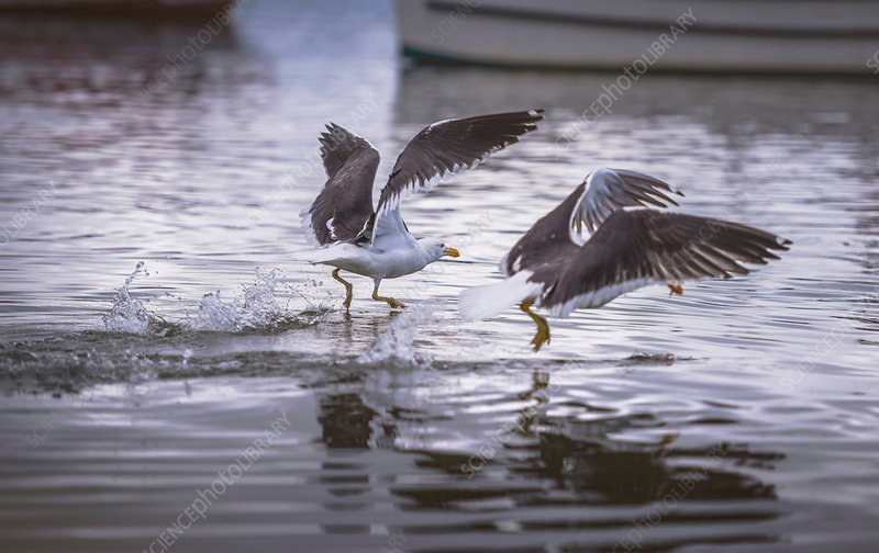 Gulls fishing at water surface