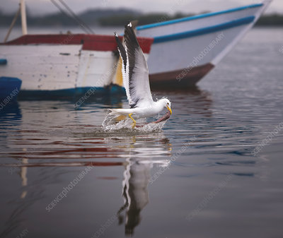 Gull catching fish on water surface