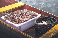 Shrimp and fish on fishing boat
