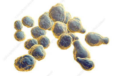 Cryptococcus neoformans fungus, illustration