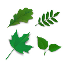 Oak, maple, ash and birch leaves, illustration