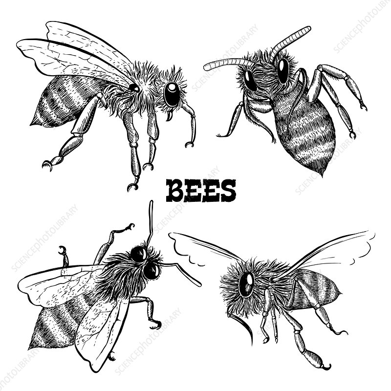 Honey bees, illustration