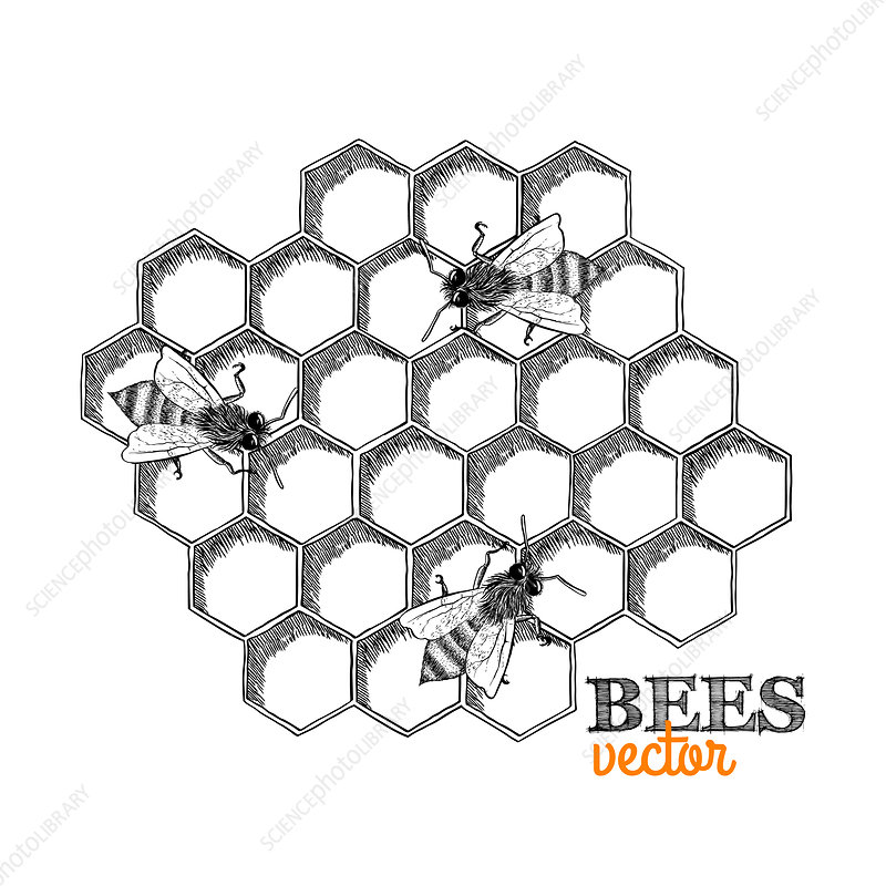 Honey bees and honeycomb, illustration