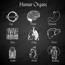 Human organs, illustration