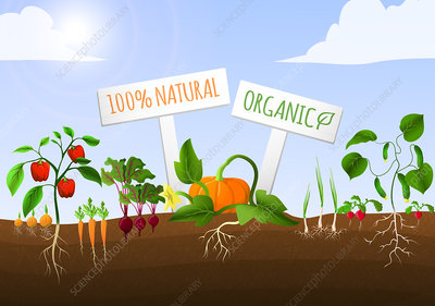 Organic vegetables, illustration