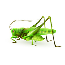 Grasshopper, illustration