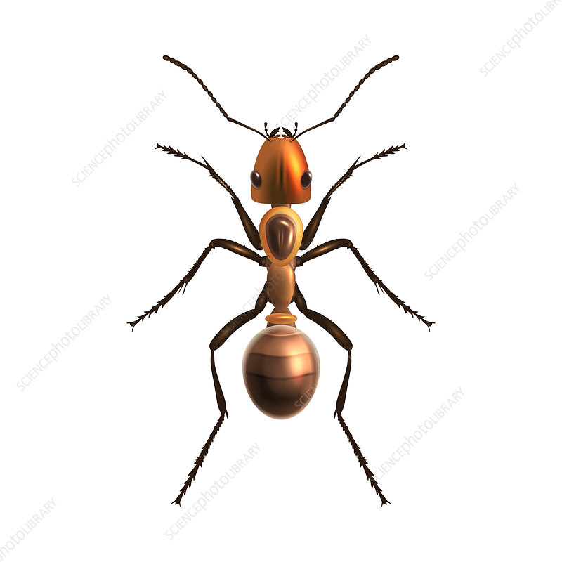 Ant, illustration