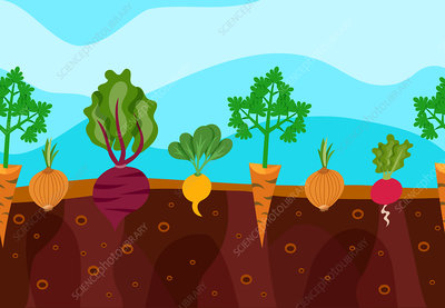 Root vegetables, illustration
