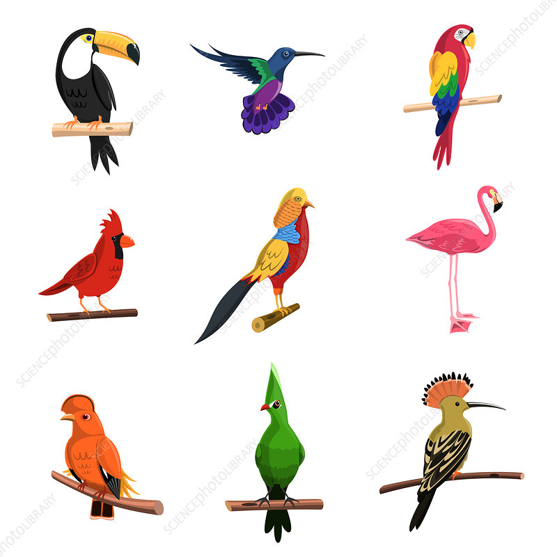 Tropical birds, illustration