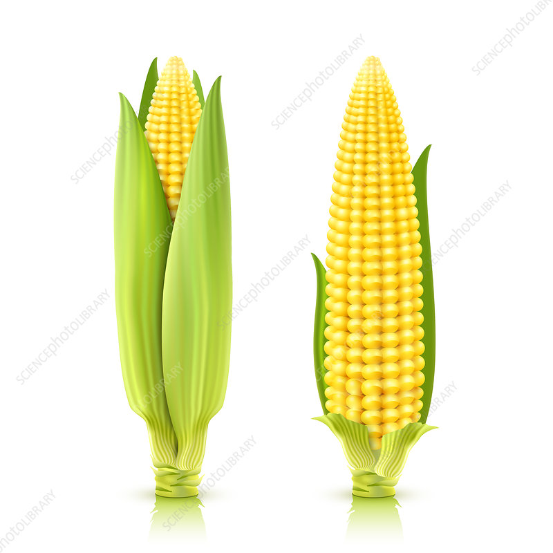 Sweetcorn, illustration