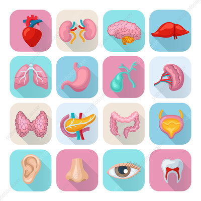 Human organ icons, illustration